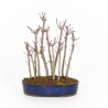 Acer palmatum viridis - érable - 24 cm