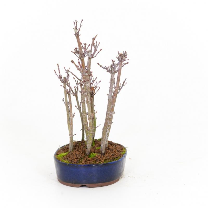 Acer palmatum viridis - maple - 24 cm