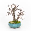 Carpinus turczaninovii - Charme - 29 cm