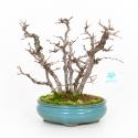 Carpinus turczaninovii - Carpino - 29 cm