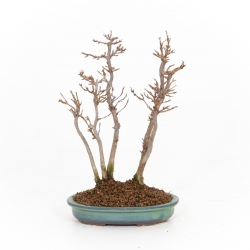 Acer buergerianum - Érable - 26 cm