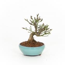 Euonymus alatus - Troène - 19 cm