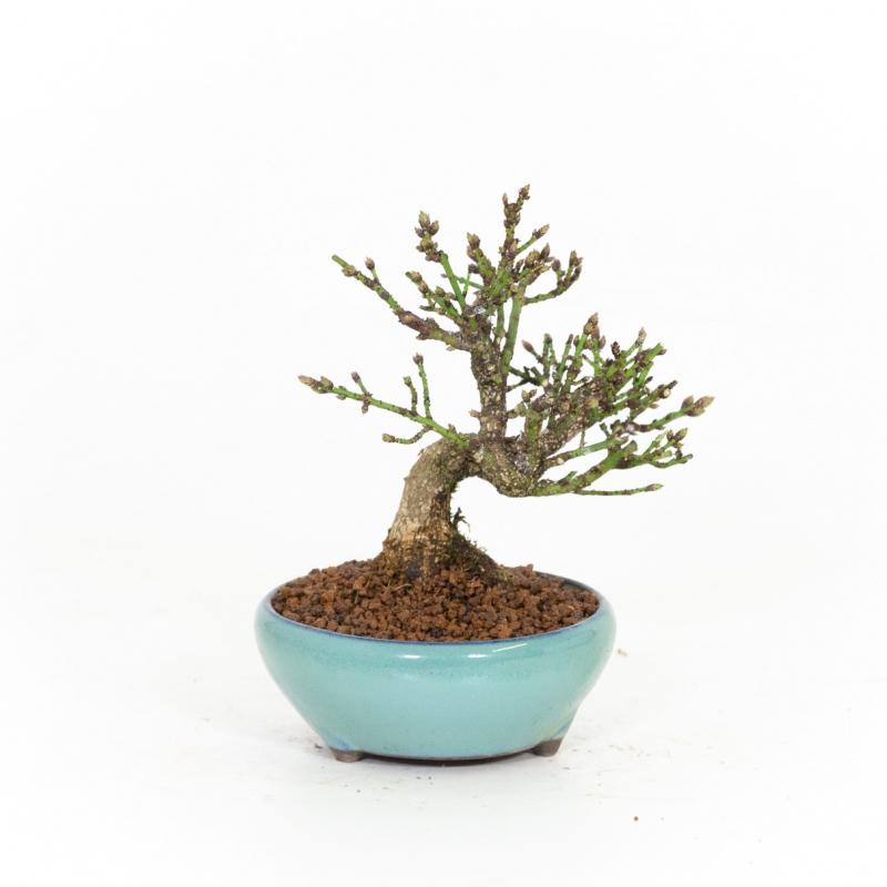 Euonymus alatus - Evonimo - 19 cm