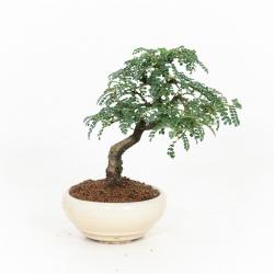 Osteomeles Anthyllidifolia - 25 cm