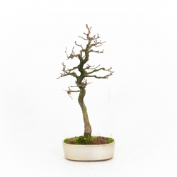 Carpinus turczaninovii - Carpino - 34 cm