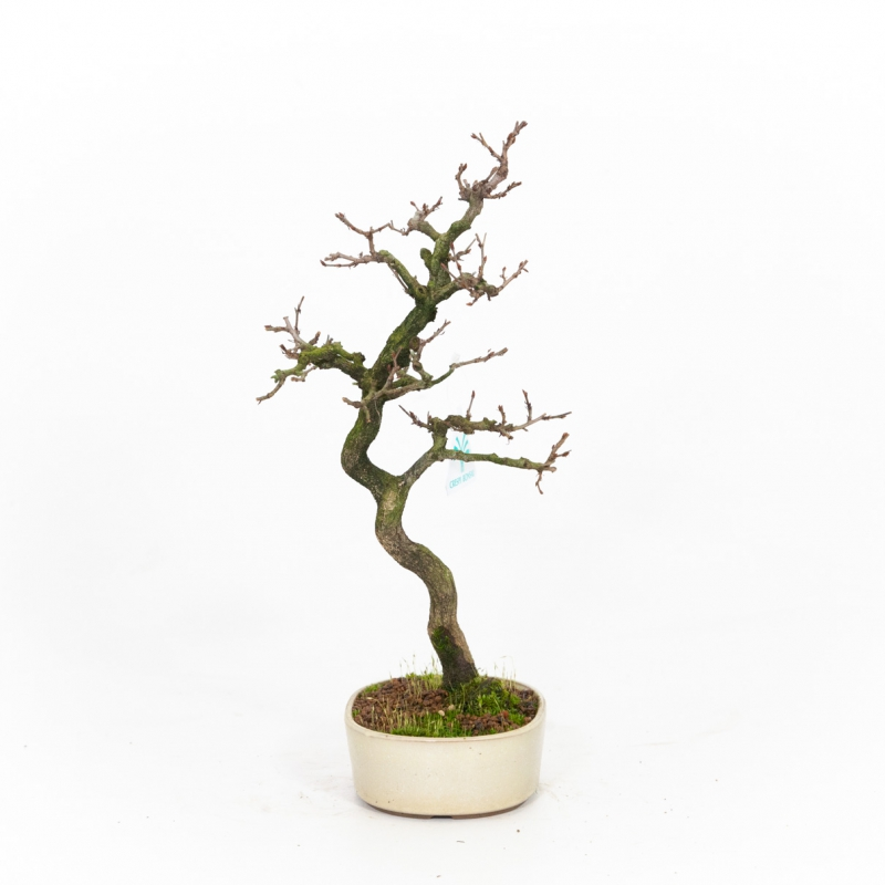 Carpinus turczaninovii - Hornbeam - 34 cm