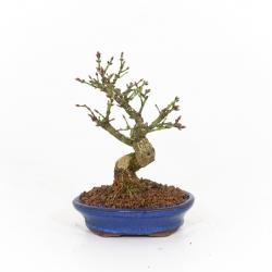 Euonymus alatus - Troène - 16 cm