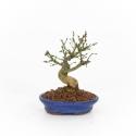 Euonymus alatus - Privet - 16 cm
