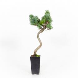 Pinus pentaphylla - Pine - 34 cm