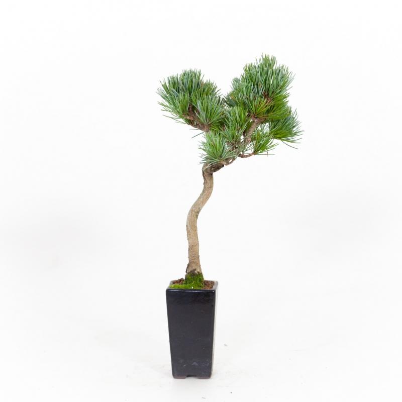 Pinus pentaphylla - Pin - 34 cm