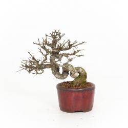 Ulmus parviflora - Olmo - 21 cm