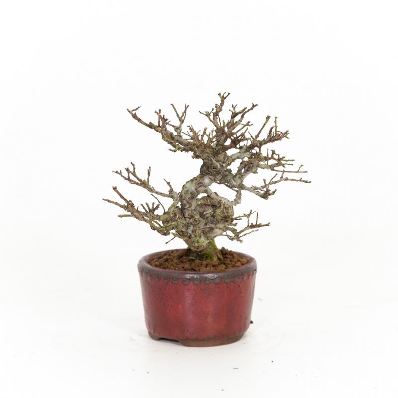 Ulmus parviflora - Elm - 21 cm