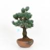 Pinus pentaphylla - Pin - 43 cm