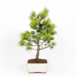 Pinus pentaphylla - 53 cm