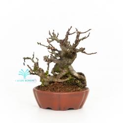 Chaenomeles Chojubai - 14 cm