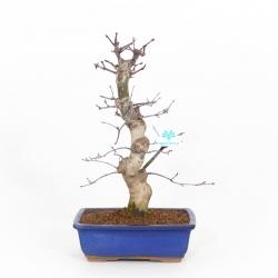 Acer palmatum Saigen - Érable - 43 cm