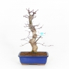 Acer palmatum Saigen - Acero - 43 cm