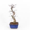 Acer palmatum Saigen - Maple - 43 cm