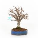Zelkova serrata - Elm - 21 cm