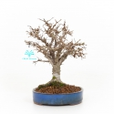Zelkova serrata - Orme - 21 cm