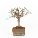 Zelkova serrata - Olmo - 22 cm