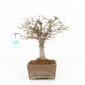 Zelkova serrata - Orme - 22 cm