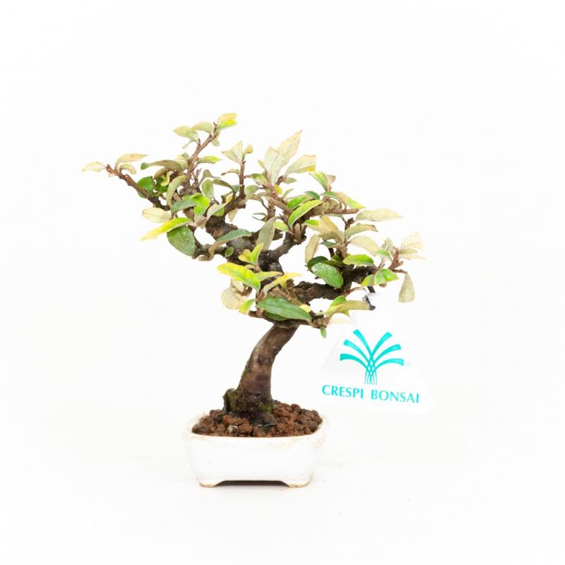 Elaeagnus - Oléastre - 12 cm