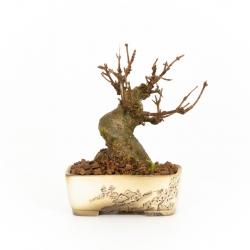 Acer buergerianum - 12 cm