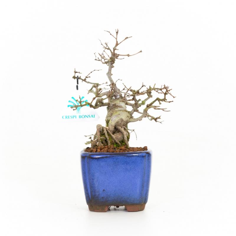 Zelkova serrata - Olmo - 20 cm
