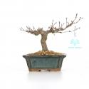 Acer palmatum - 13 cm