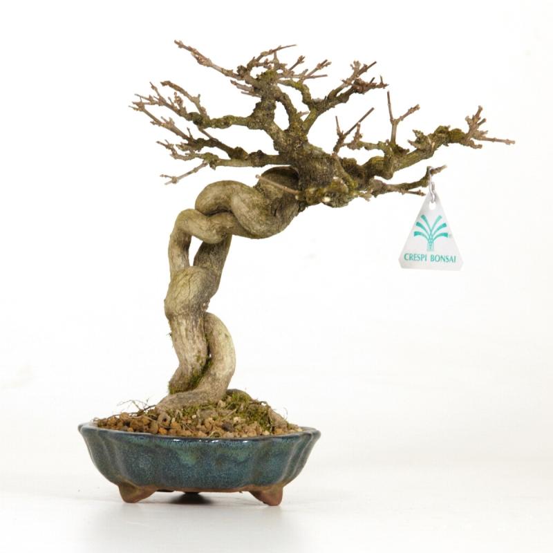 Premna Japonica - 23 cm