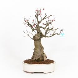 Ilex serrata - Agrifoglio - 42 cm