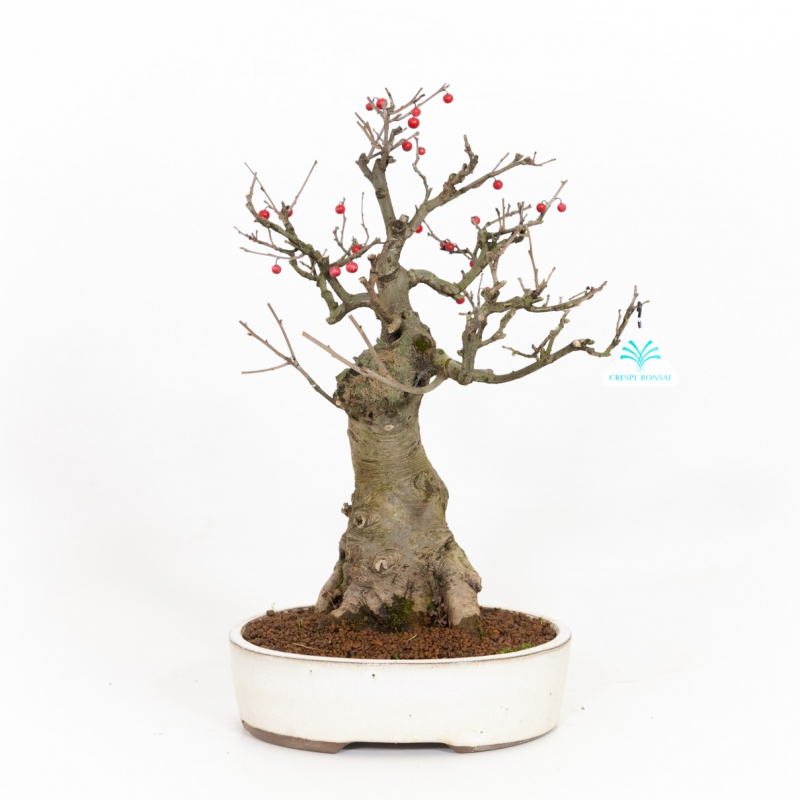 Ilex serrata - Houx - 42 cm