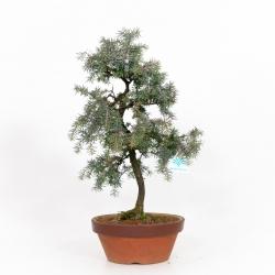 Juniperus rigida - 48 cm