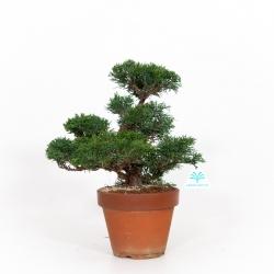 Juniperus chinensis - Ginepro - 35 cm
