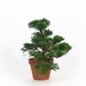 Juniperus chinensis - Genévrier de Chine - 35 cm