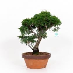 Juniperus chinensis - Ginepro - 34 cm