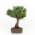 Pinus pentaphylla - Pino - 31 cm