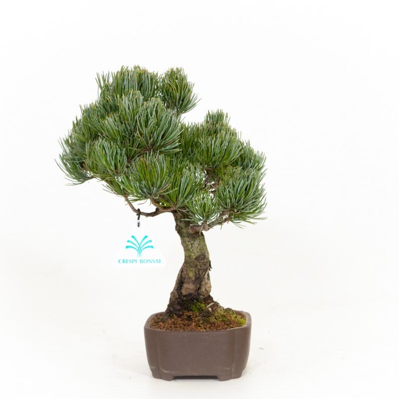 Pinus pentaphylla - Pin - 31 cm