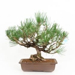 Pinus thumbergii - Pino - 47 cm