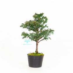 Cryptomeria japonica - 28 cm