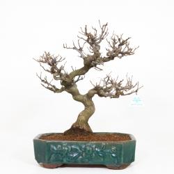 Styrax japonica - Styrax du Japon - 50 cm