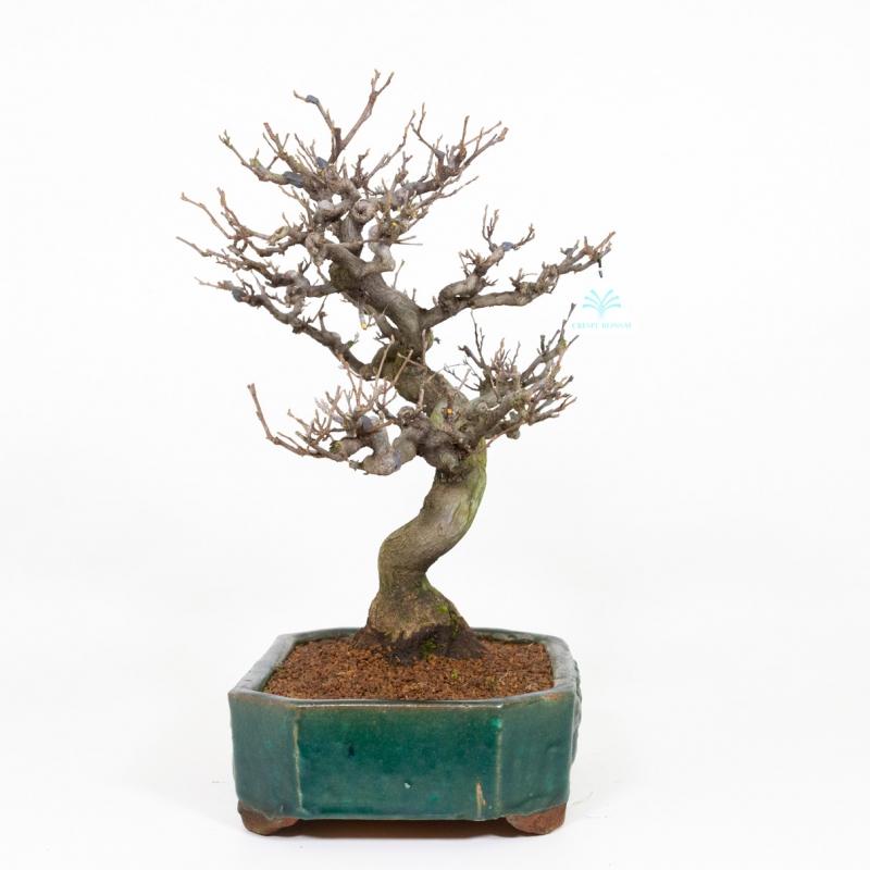 Styrax japonica - Japanese snowbell - 50 cm