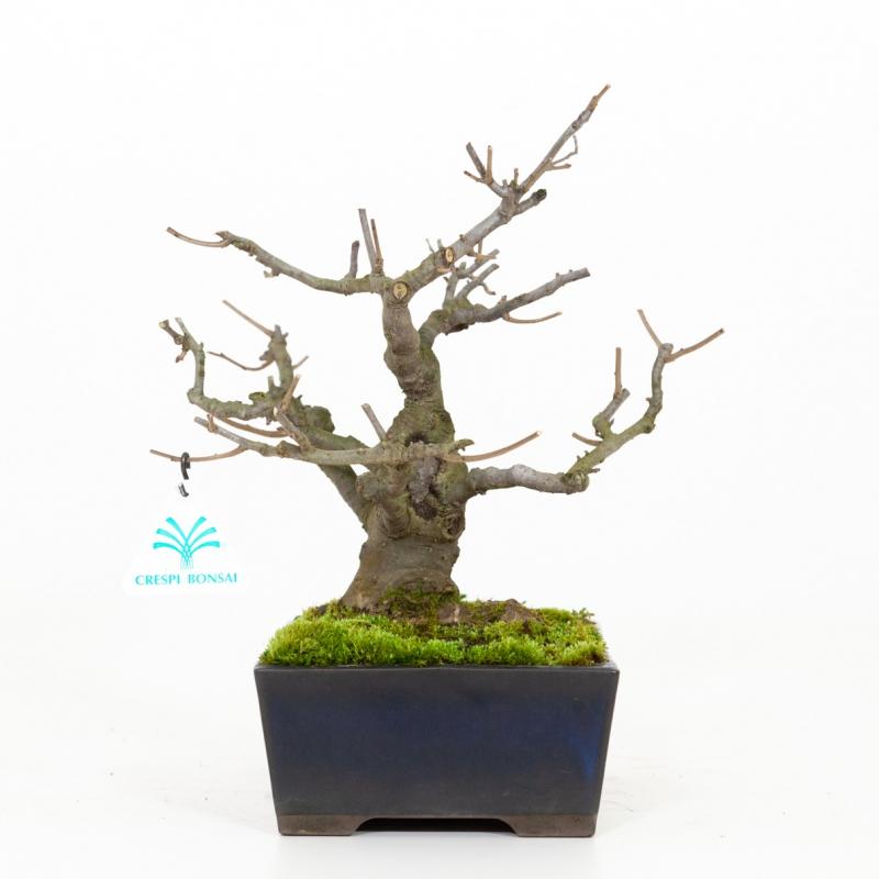 Ilex serrata - Agrifoglio - 29 cm