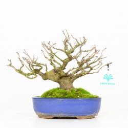 Corylopsis spicata - 23 cm