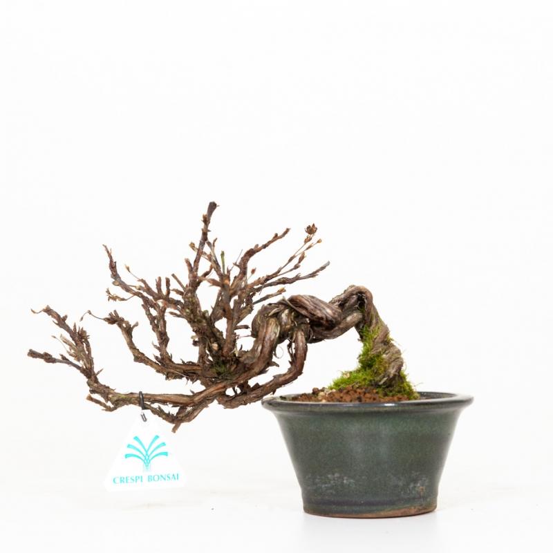 Potentilla fruticosa - 19 cm