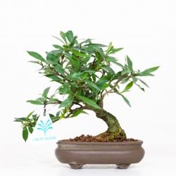Gardenia jasminoides - 17 cm