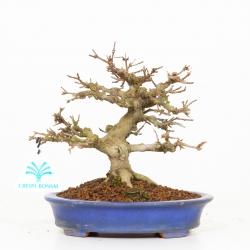 Acer buergerianum - Maple - 19 cm