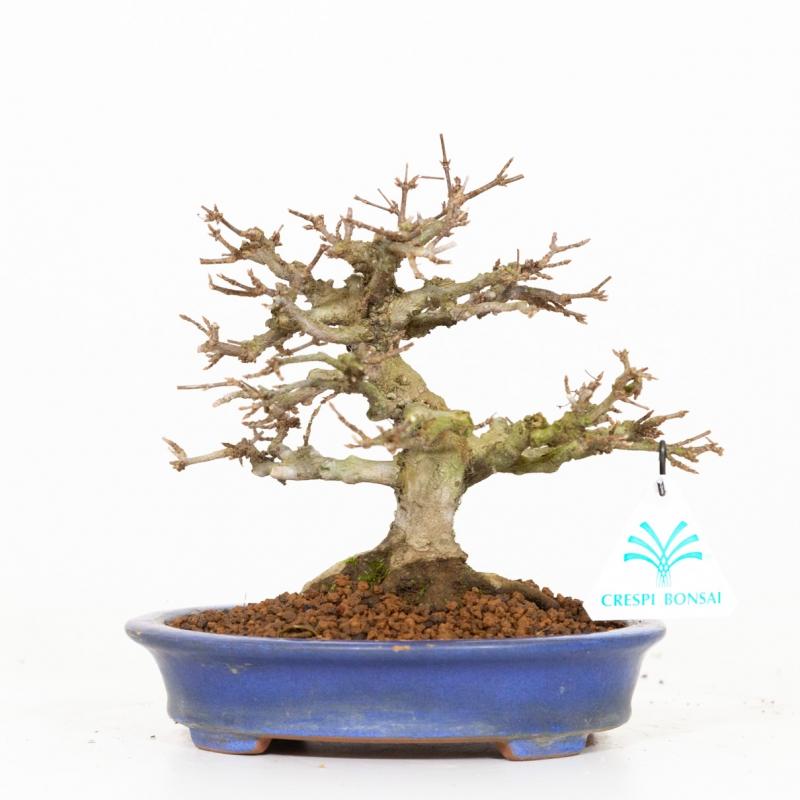 Acer buergerianum - Érable - 19 cm