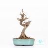 Acer buergerianum - Érable - 16 cm